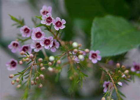 pale pink pale pink geraldton wax flowers fables and flora