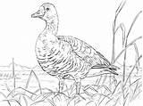 Goose Coloring Canadian Pages Drawing Geese Greater Printable Supercoloring Gans Kleurplaat Taiga Para Colorear Dibujos Main Animal Imprimir Animals Tundra sketch template
