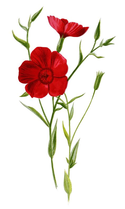 clipart illustrations crimson flax floral clip flower illustration