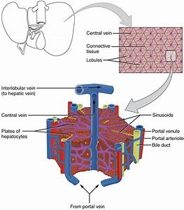 Lobules of liver - Wikipedia