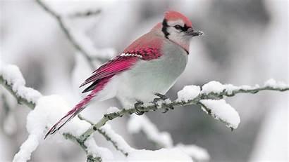 Bird Snow Pink Background Tree Animals Covered