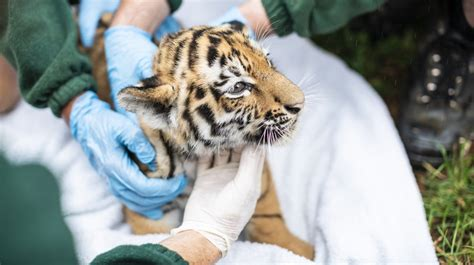 zoo whipsnade zsl tiger say aaah cubs cub health checks close london zoological society animals them