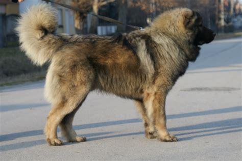 Russian Caucasian Mountain Dog Bear