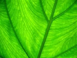 Wallpaper green background - Light through leaf - Green ...  Green