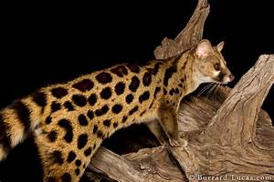 Large-spotted Genet - Burrard-Lucas Photography
