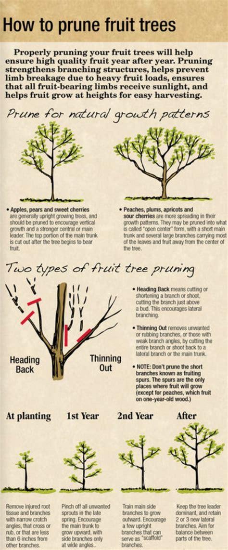How To Prune Fruit Trees Arbordayorg  Garden Pinterest