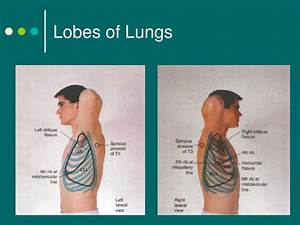 Ppt - Thorax And Lungs Powerpoint Presentation