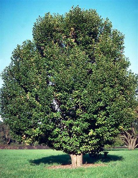 saucer magnolia tree for sale beechwood landscape architecture and construction saucer magnolia deciduoustree woody plant