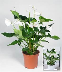 Zimmerpflanze Weiße Blüten : flamingoblume 39 wei 39 1a zimmerpflanzen online kaufen baldur garten ~ Markanthonyermac.com Haus und Dekorationen