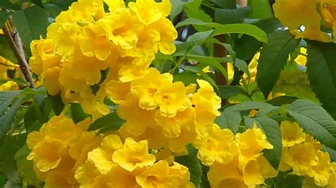 yellow bells singapore plants yellow bell trumpet flowers youtube