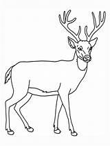 Deer Coloring Pages Animal Education Printable Dear Outline Deers Tailed Wildlife sketch template