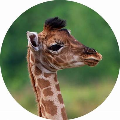 Giraffes Did Know Facts Giraffe Short Necks