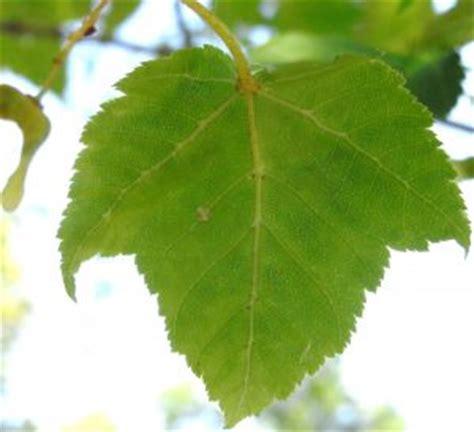 erable jaspe de gris erable  feuilles de vigne ma