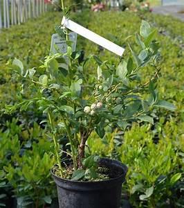 Heidelbeeren Pflanzen Balkon : heidelbeere goldtraube vaccinium corymbosum goldtraube ~ Lizthompson.info Haus und Dekorationen