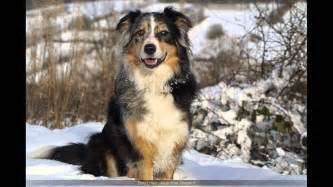 australian shepherd blue heeler mix youtube
