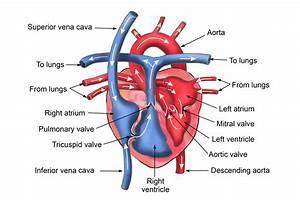 Heart Chambers Diagram  U2014 Untpikapps
