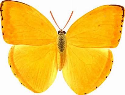 Orange Schmetterling Openclipart Butterfly Sulphur Giant Clipart