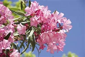 Oleander Zurückschneiden Video : oleander zur ckschneiden ~ Lizthompson.info Haus und Dekorationen