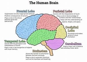 The Human Brain  Diagram   Worksheet
