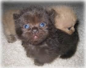 Miniature Teacup Cats Prices