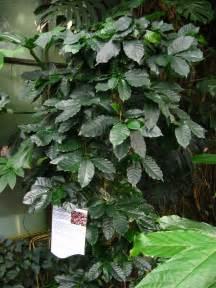 Coffee Bean Tree Houseplants coffee plant: how to grow coffee plant