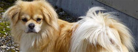 Learn About The Tibetan Spaniel