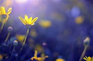 flower flowers yellow blue bokeh background wallpaper ...