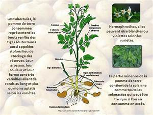 Période Pour Planter Les Pommes De Terre : la pomme de terre ~ Melissatoandfro.com Idées de Décoration