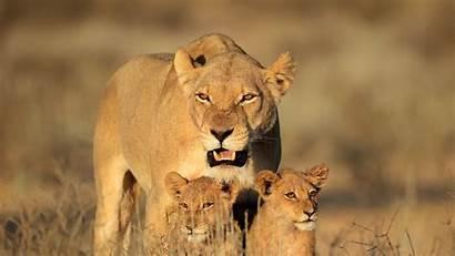Lion Female Cubs Lions Shower Safari Wakubwa