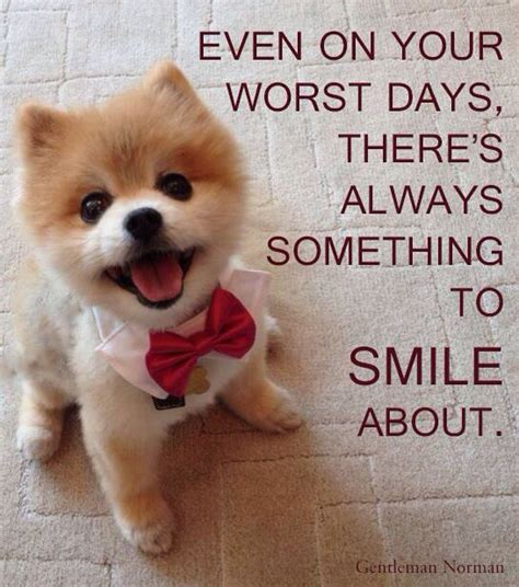 Pomeranian Meme - 156 best images about dog breed pomeranian s on pinterest pom dog pom poms and teacup