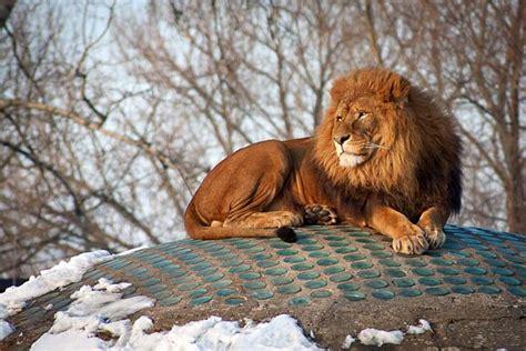 lion  tiger difference  comparison diffen
