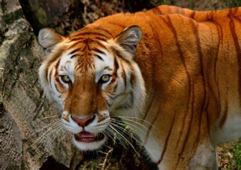 Strawberry Tiger Tumblr