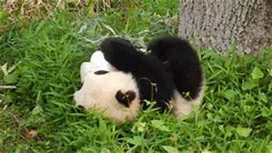 New trending GIF tagged animals panda rolling via ...