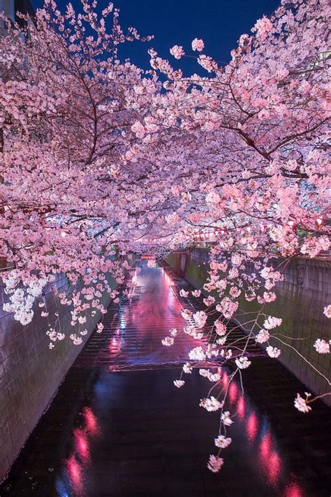 sakuracherry blossom meguro river meguro tokyo