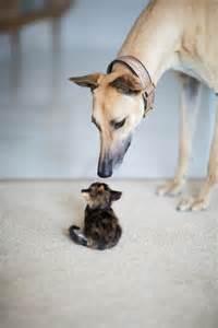 Greyhound and Kitten