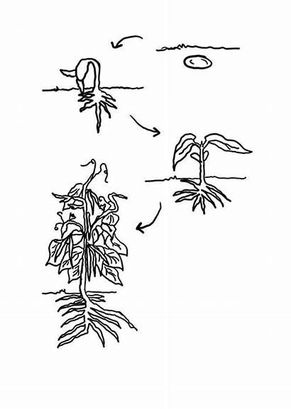 Coloring Plant Bean Plants Growing Lifecycle Cycle