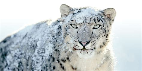 Snow Leopards  National Geographic