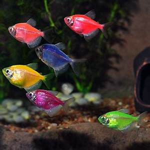Tropical Fish for Freshwater Aquariums GloFish Tetra