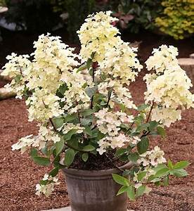 Hortensie Wims Red : hydrangea paniculata wims red rispenhortensie wims red ~ Michelbontemps.com Haus und Dekorationen