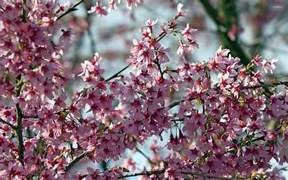 Tree Branches Blossoms Flowers Wallpapers Blossom Flower
