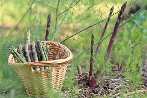 Spargel Das Edelgemüse Im Eigenen Garten Anbauen Plantura