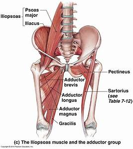 Groin Muscles Diagram   Groin Muscles Diagram Groin Muscle