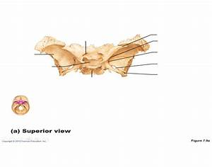 Sphenoid Bone  Superior View