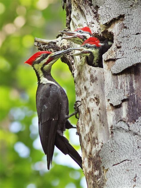 pileated woodpeckers bird feeding and watching pinterest
