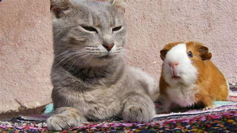 cat guinea pig animal wallpaper background