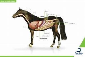 Enlargement Of The Equine Internal Organs Chart