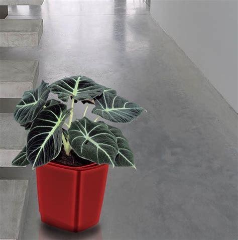 conseil culture autofloraison interieur 1000 id 233 es sur le th 232 me alocasia plant sur