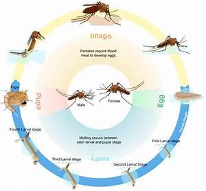 Mites Alimentaires Cycle De Reproduction : biological life cycle wikipedia ~ Dailycaller-alerts.com Idées de Décoration