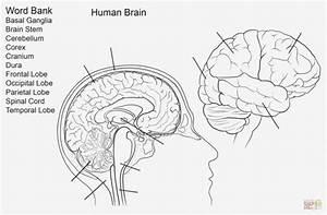 Labeled Brain Diagram
