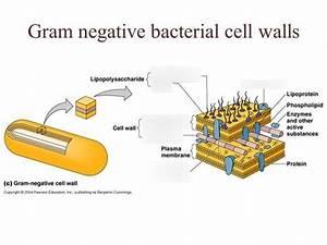 34 Gram Negative Cell Wall Diagram